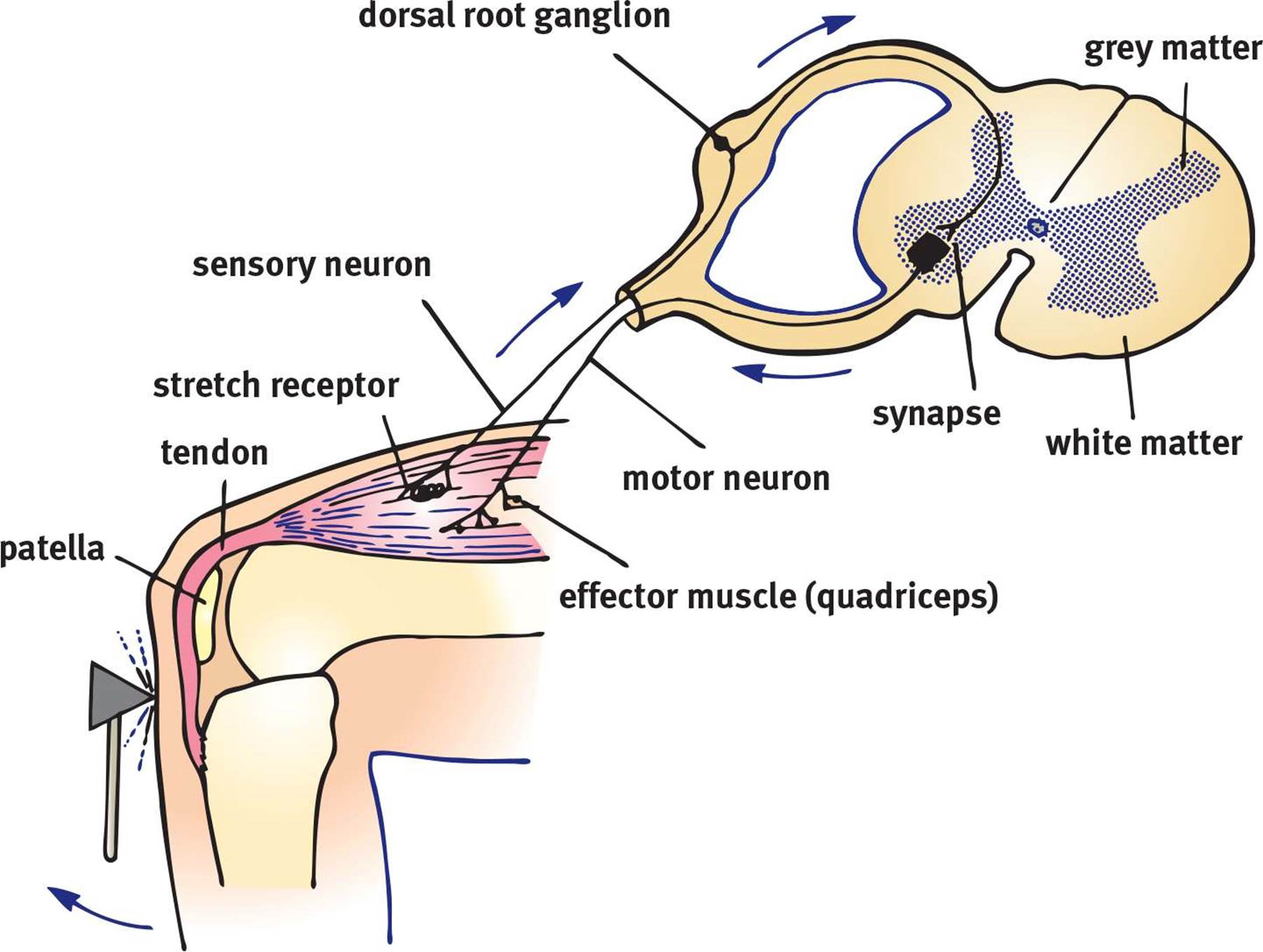 example of a monosynaptic reflex