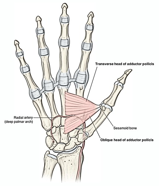 making a fist is an example of carpi flexion